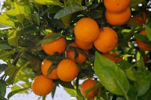 orange-trees_12924